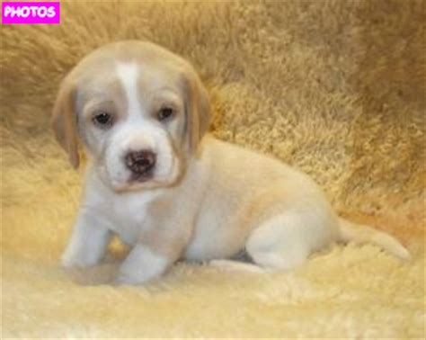 puppy lemon pin lemon beagle puppy puppies on