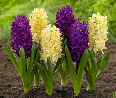 fiori di giacinto giacinti bulbi bulbi i giacinti
