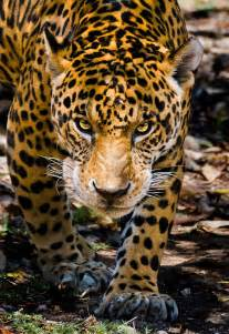 Jaguar Movement Here S Looking At You Kid Wildlife