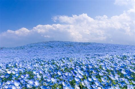wallpaper blue nature field full with blue flowers wonderful nature wallpaper