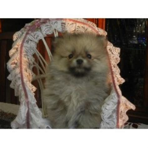 pomeranian breeder ontario crested breeders in ontario breeds picture