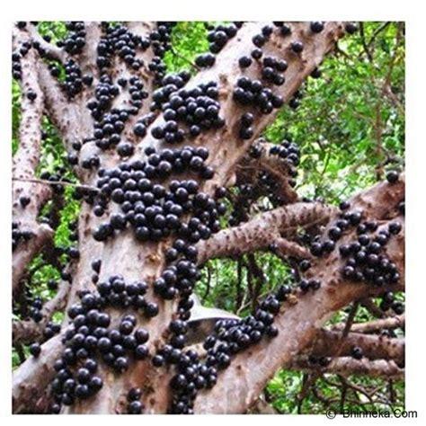 Benih Buah Anggur jual kebun bibit tanaman anggur brazil 30cm murah