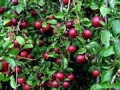 Tanaman Manggis Pohon Manggis 085894576246 budidaya buah manggis