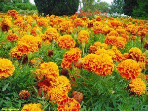 fiori da bordura piante perenni 32 variet 224 per bordura giardino balcone