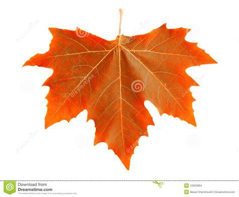 orange maple leaf stock images image 10923964
