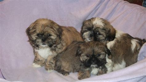 shih tzu puppies for sale in pa shih tzu pug mix puppies for sale