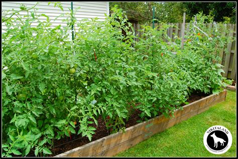 backyard tomatoes backyard tomato garden www imgkid com the image kid