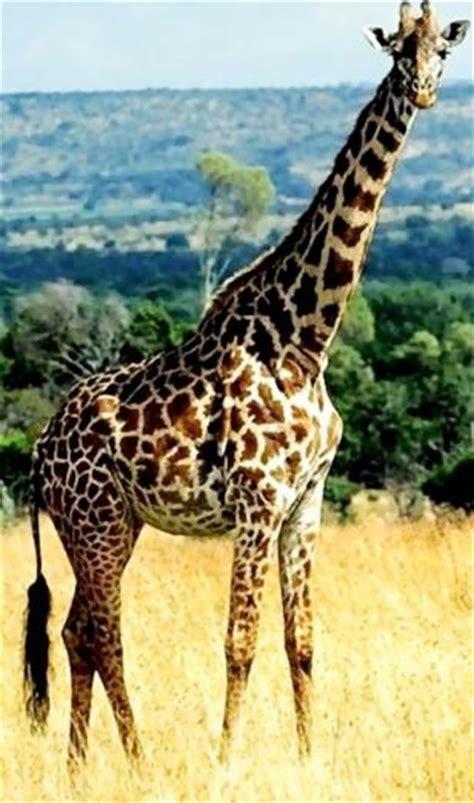 imagenes reales de jirafas image gallery imagenes de jirafas