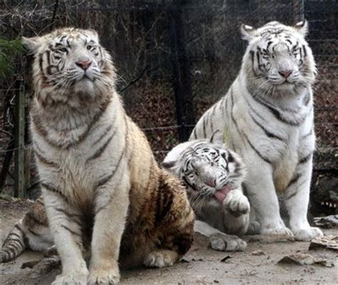 tiger biography in english white tigers in south korea lifestyle news sina english