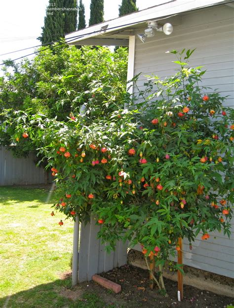 What Garden Zone Am I In By Zip Code - plantfiles pictures abutilon flowering maple tiger eye abutilon by kell