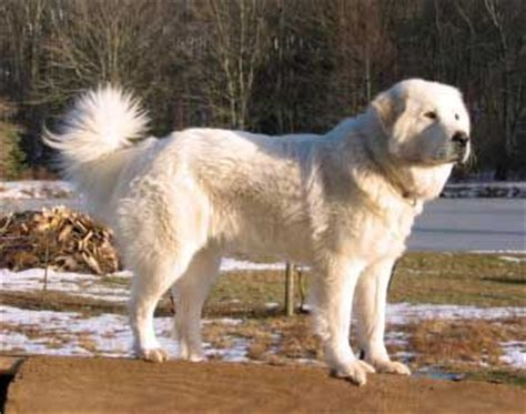 sheep guard dogs livestock guardian dogs livestock