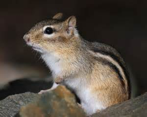 A Chipmunk - eastern chipmunk naturally curious with
