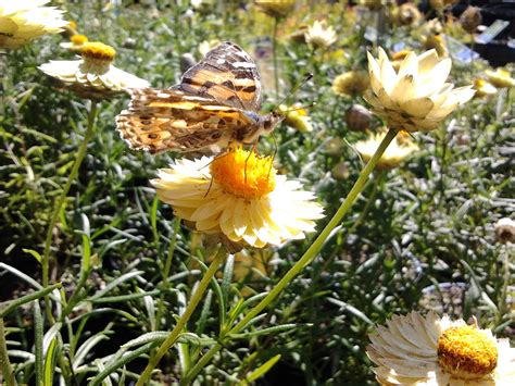 attracting butterflies to your garden native plant and