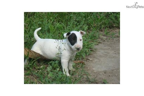 bull terrier puppies for sale craigslist bulldog puppy for sale from reputable breeders book covers