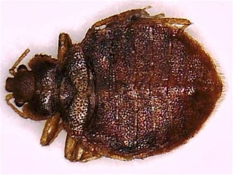 bed bugs city  toronto