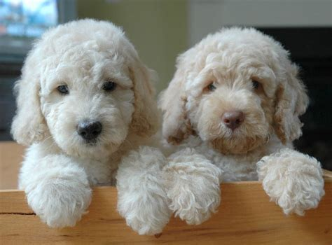 labradoodle vs golden retriever labradoodle vs goldendoodle what s the difference
