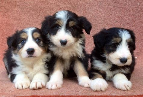 bearded collie puppies for sale working bearded collie puppies for sale welshpool powys pets4homes