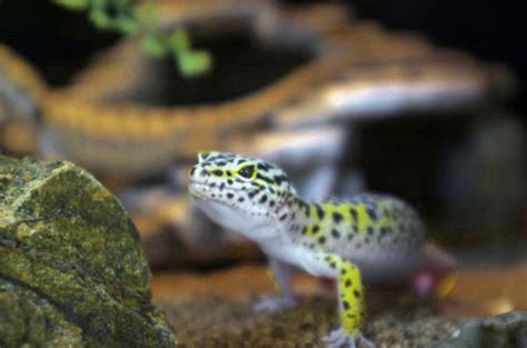 Leopard Gecko Lighting At Night Reptile Gallery