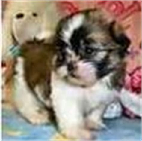 shih tzu puppies for sale houston shih tzu puppies for sale shih tzu breeders