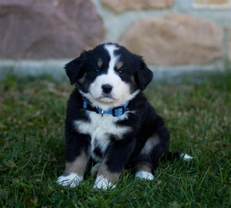 great bernese puppies for sale friendly fluffballs bernese mt great pyrenees mix puppyindex