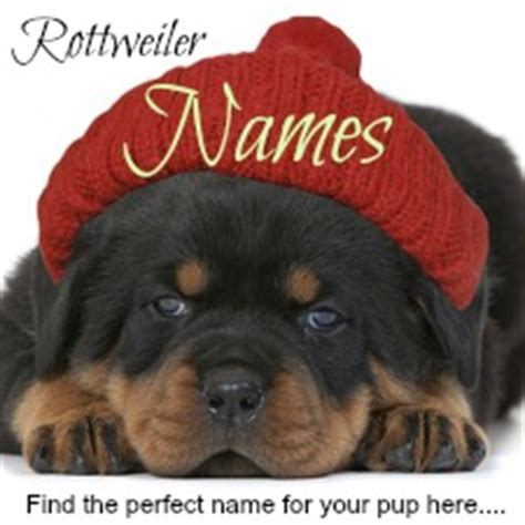 rottweiler puppy growth chart rottweiler growth chart with pics breeds picture