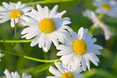 fiore camomilla 10 rimedi naturali per il mal di denti greenme