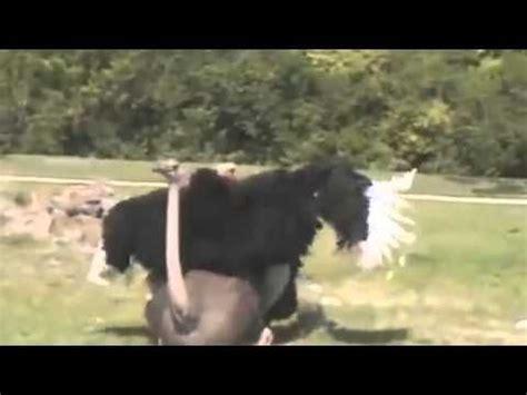 apareamiento animales salvajes animales apareamiento divertido animales animales