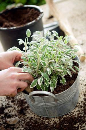 garten salbei pflege salbei anbau pflanzen pflege und ernte