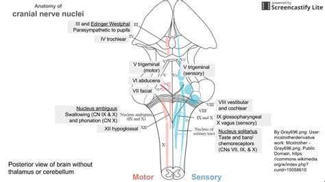 cranial nerve motor nuclei anatomy of cranial nerve nuclei