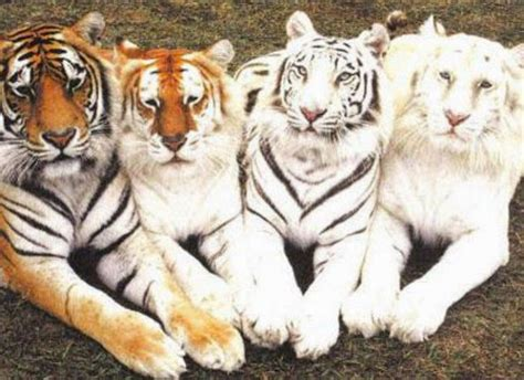 tiger colors multi colored tiger family 13 naturally color mutated