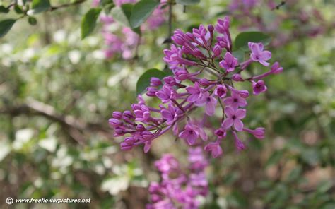 lilacs flowers lilac flower pictures