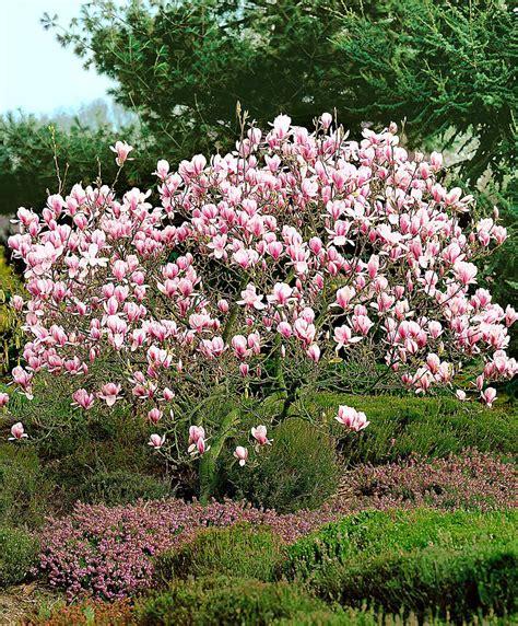 magnolia fiore buy magnolia bakker