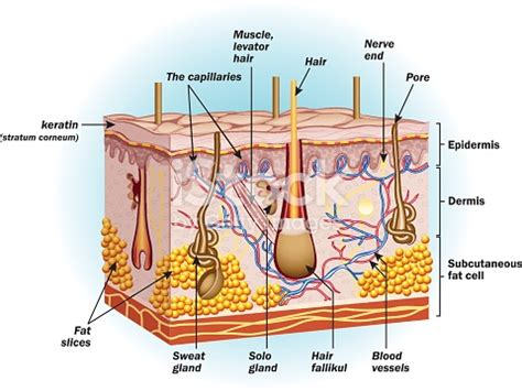 vector clipart of human skin anatomy vector illustration of diagram of human csp18463205 the structure of human skin cells stock vector more images of anatomy 499841483 istock