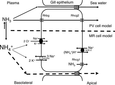Does Detoxing Ammonia Means It Removes It From The Aqauarium by Ammonia And Urea Transporters In Gills Of Fish And Aquatic