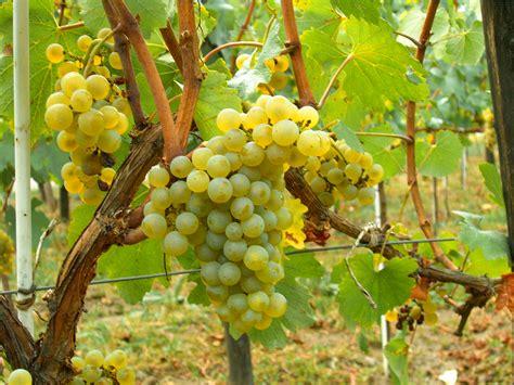 imagenes de uvas silvestres file chardonnay moldova jpg wikipedia