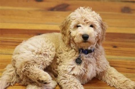 teddy goldendoodle puppies teddy goldendoodles melt