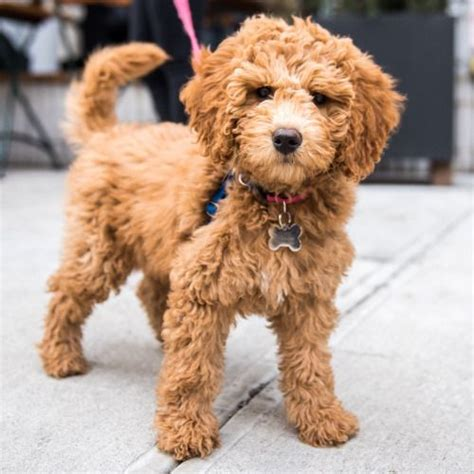 mini goldendoodles island ny best 25 golden doodle puppies ideas on