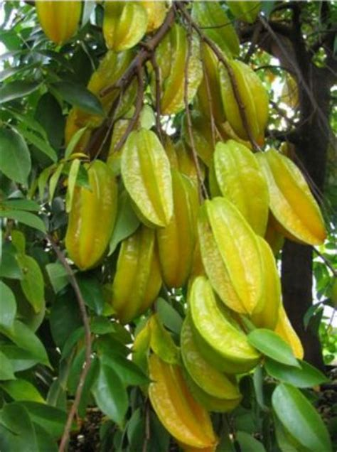 carambola fruit tree carambolas tree or fruit tree jpg