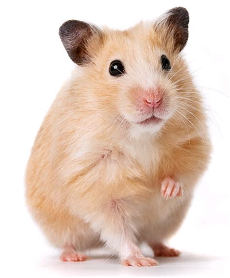 hamster with hamster wiki all you need to about pet hamsters