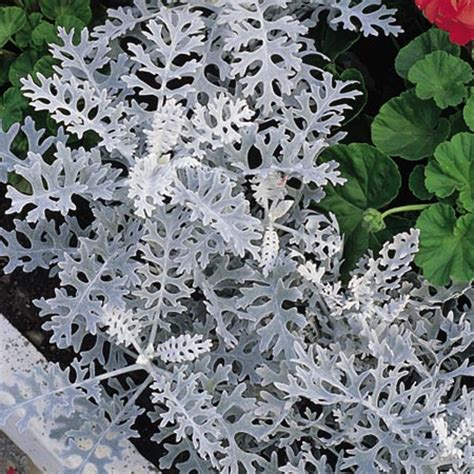 plants with silver foliage cineraria maritima silver seeds foliage review