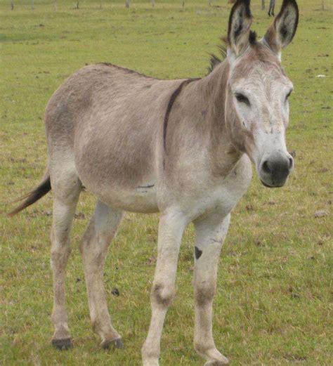 burro animal asno conhe 231 a este antigo animal de carga