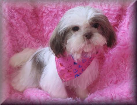 cutest shih tzu puppy shih tzu puppies photos puppies pictures puppy photos