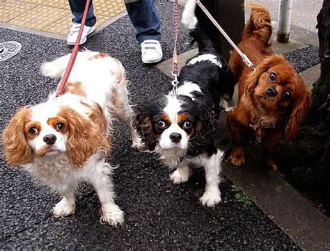 King Cavalier Spaniel Shedding by Top 10 Cat Friendly Breeds Puppywire