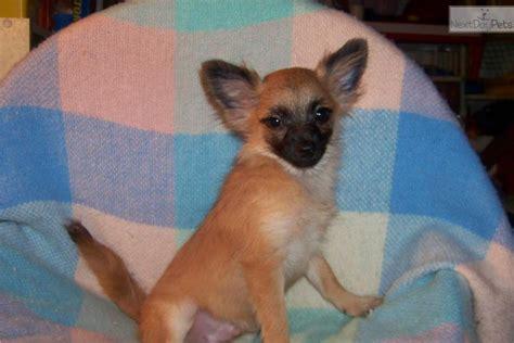 meet male  cute pomchi puppy  sale   evan