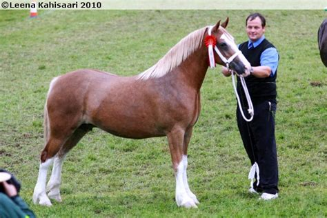 Cob Section C by Pony Of Cob Type Section C Breeds Picture