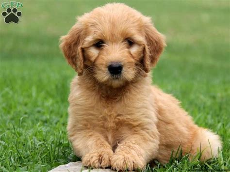 goldendoodle puppies for sale ta the 25 best greenfield puppies puppy mill ideas on