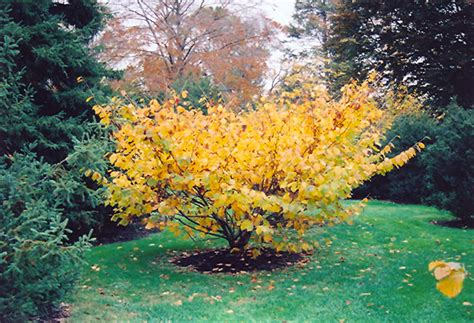 chinese witchhazel hamamelis mollis in wilmington hstead jacksonville onslow hanover north