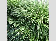 Liriope (Liriope muscari) 'Evergreen Giant' Liriope Muscari Evergreen Giant