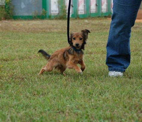 www petfinder dogs 38 best petfinder dogs images on dachshund