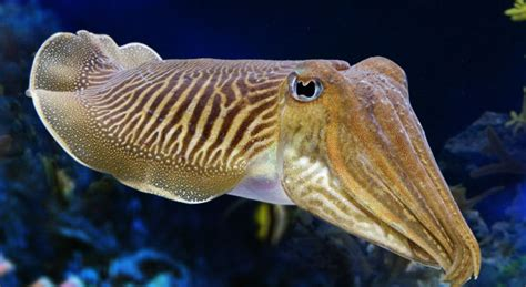 Cuttlefish Facts Picture And Images